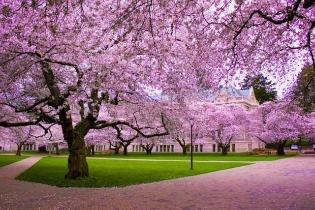 japonya sakura