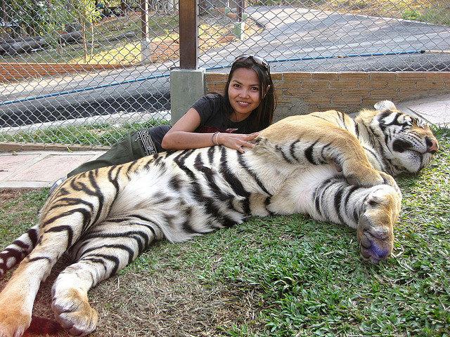 tayland tiger zoo